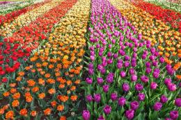 Un trionfo di tulipani, colori e instagrammabilità al parco Keukenhof