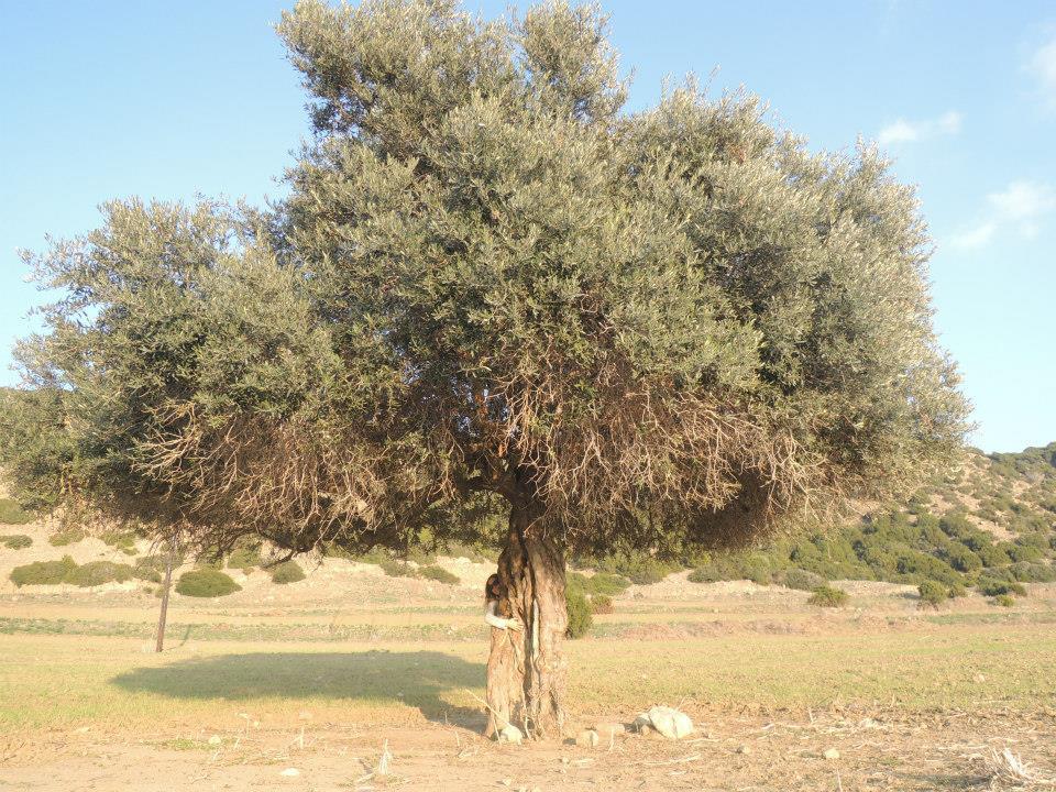 Albero Cipro
