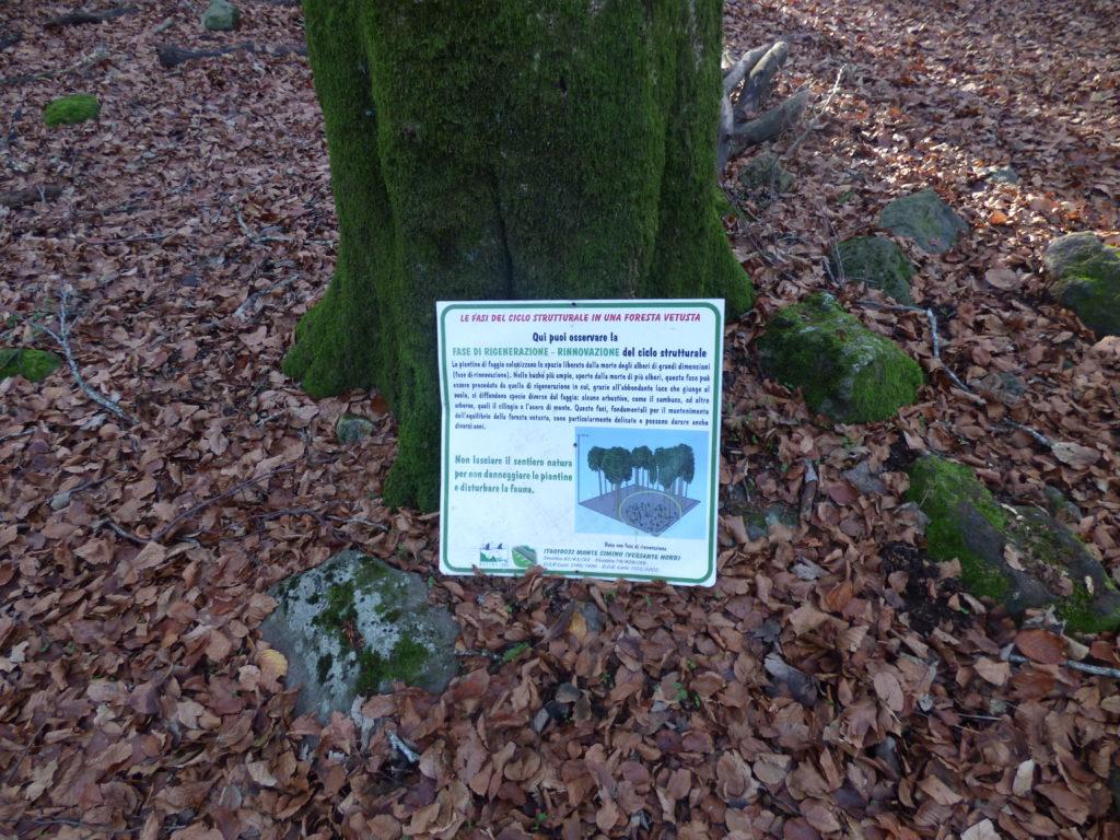 Lo spiegone della fase di rigenerazione della foresta vetusta