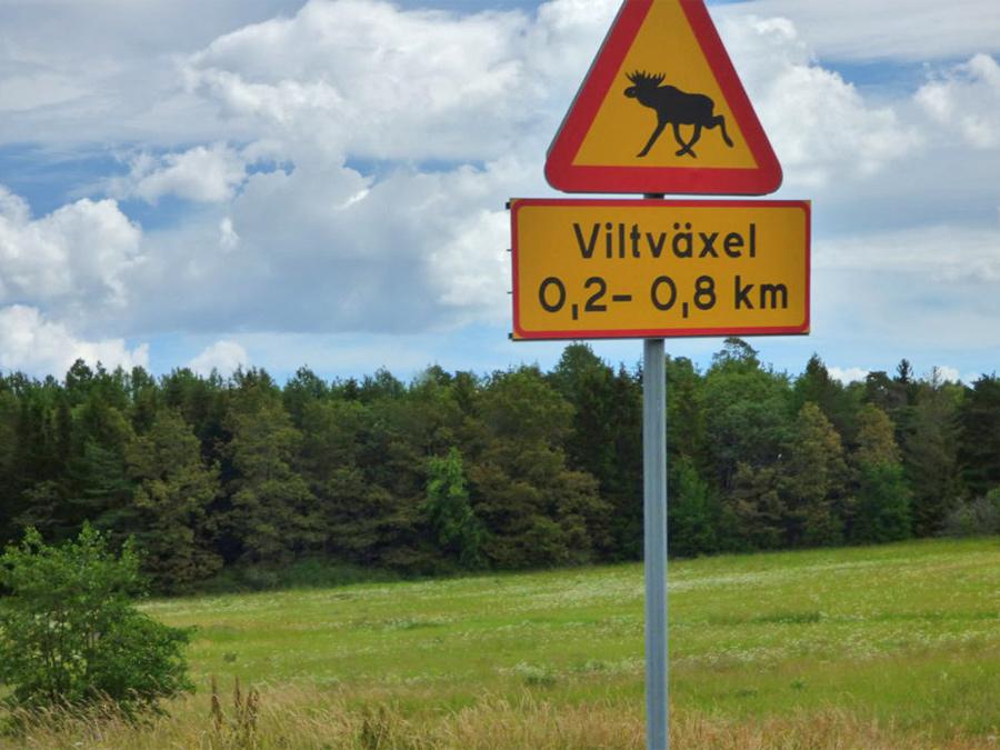 Attraversamento alci in Svezia