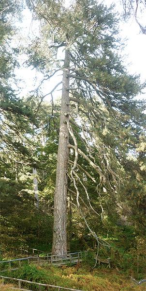 alberi monumentali, i giganti della Sila