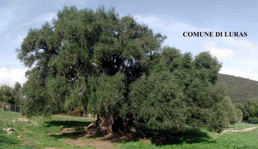 Alberi Monumentali, albero più vecchio d'Italia
