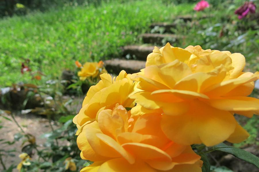 Rose nell'orto botanico di Roma