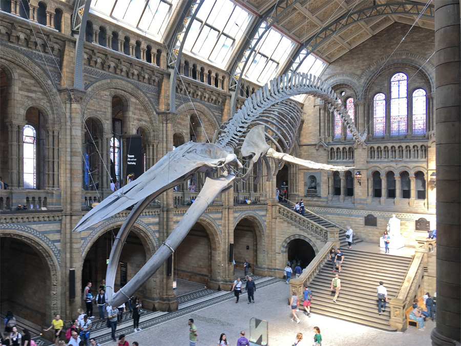 Scheletro balena Museo di Storia Naturale di Londra