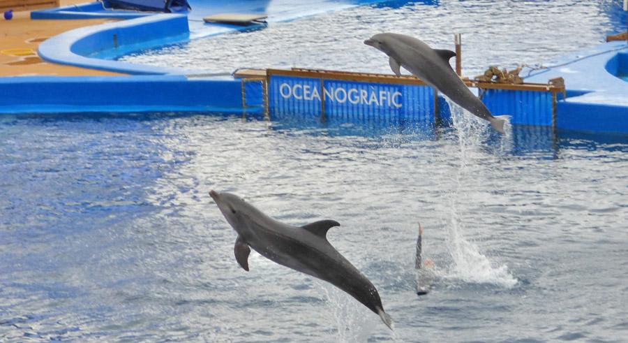 Delfini all'Oceanogràfic di Valencia